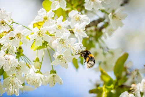 Fotobanka sbezplatnými fotkami na tému čerešňa, čerešňový kvet, detailný záber, flóra