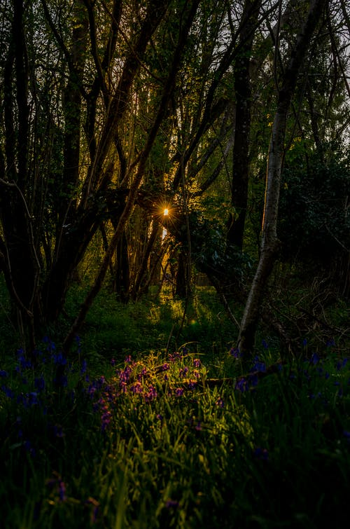 Free stock photo of bluebells, forests, sunset