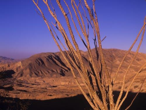 Free stock photo of desert, ocotillo, sunset