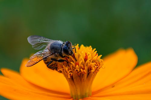 Fotos de stock gratuitas de abeja, fauna, flor