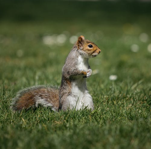 Curious squirrel on green meadow in daylight