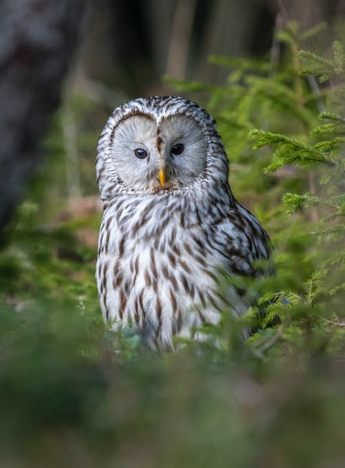 An Ural Owl in the Wild