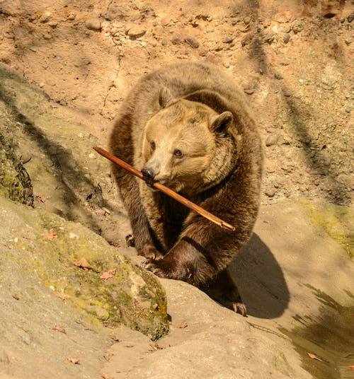 From above of bear with thick fur and long claws on paws strolling on dry uneven surface with wooden twig in mouth while looking away in zoo
