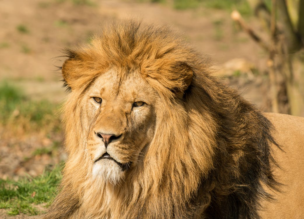 Powerful lion lying on grass in zoological garden