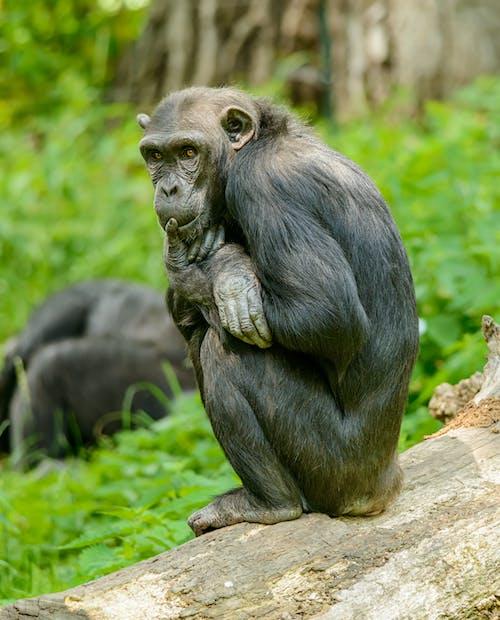 Thoughtful chimpanzee resting on dry tree trunk near bright grass