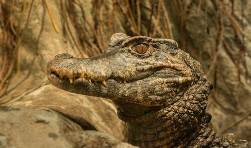 Dangerous crocodile head near stones in zoological garden