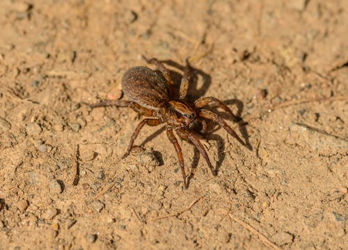 Hairy spider crawling on dry surface in zoological garden
