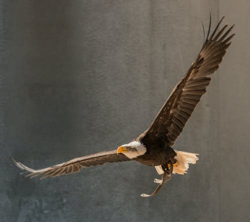 Bald eagle flying on gray background in zoo