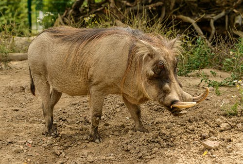 Side view of big warthog with spiky tusks and mane on back strolling on uneven surface near grass in daytime