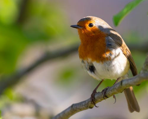 Close-Up Shot of a European Robin Perched on a Twig