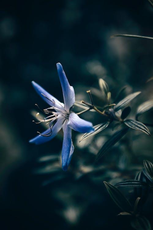 Kostnadsfri bild av bakgrundsbild android, blå blomma, blomfotografi