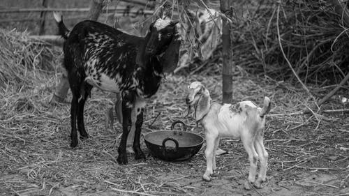 Free stock photo of animal lover, animals, goats