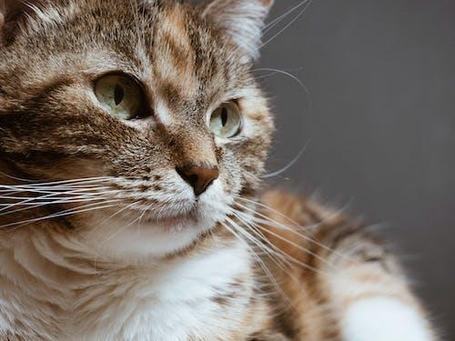 Δωρεάν στοκ φωτογραφιών με απαλός, αστείος, αφράτος, Γάτα