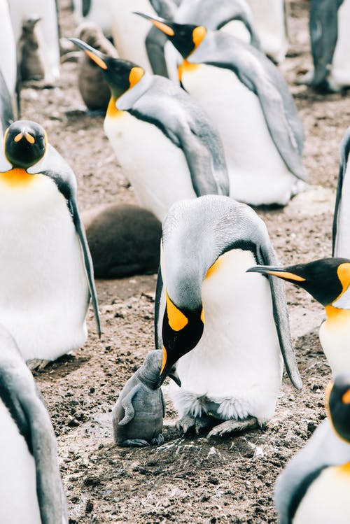 Group of wild king penguins standing on dirty ground next to each other