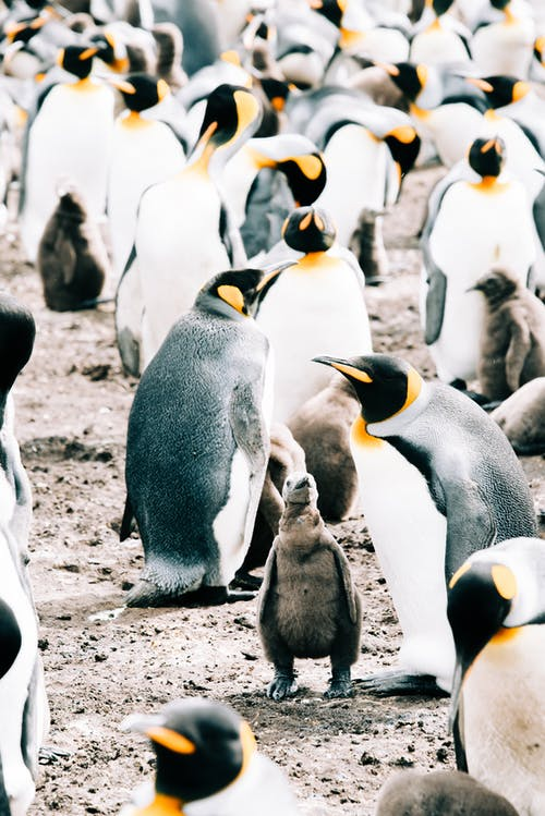 Gray babies and and adult king penguins gathering together on remote shore with dirty ground