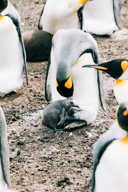King penguins in wild nature