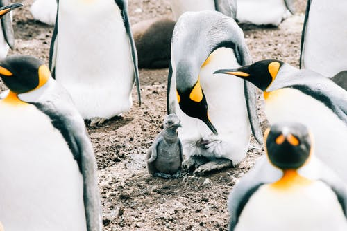 King adult penguin and baby gathering together in herd on dirty rough surface