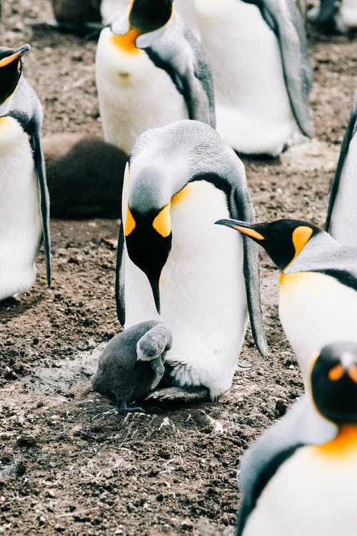 Group of king penguins gathering next to each other on ground in wild nature