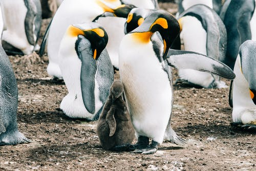 Group of king penguins with babies cleaning feather while gathering in flock on ground