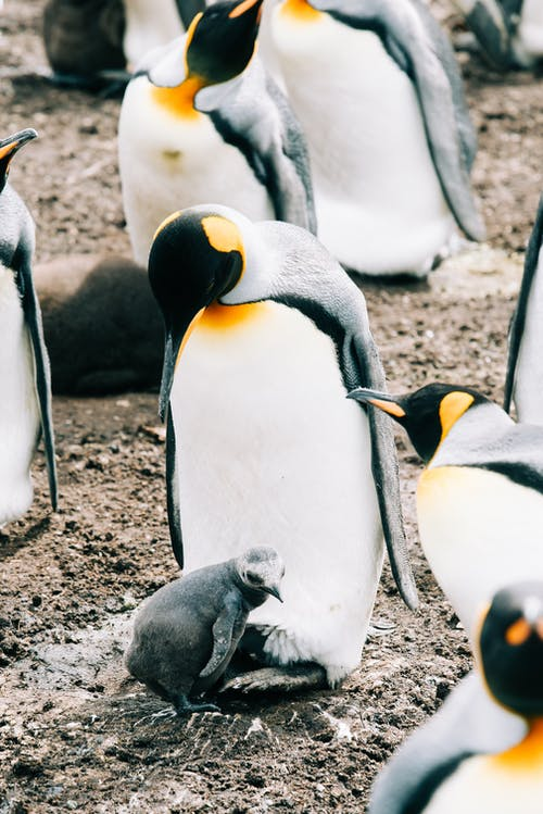 Flock of penguins on rough ground