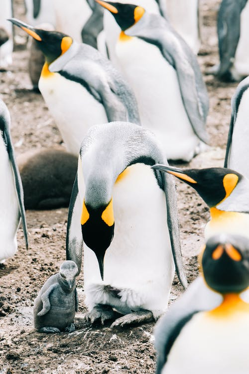 King penguin bird with bowed head standing in herd on rough dirty ground