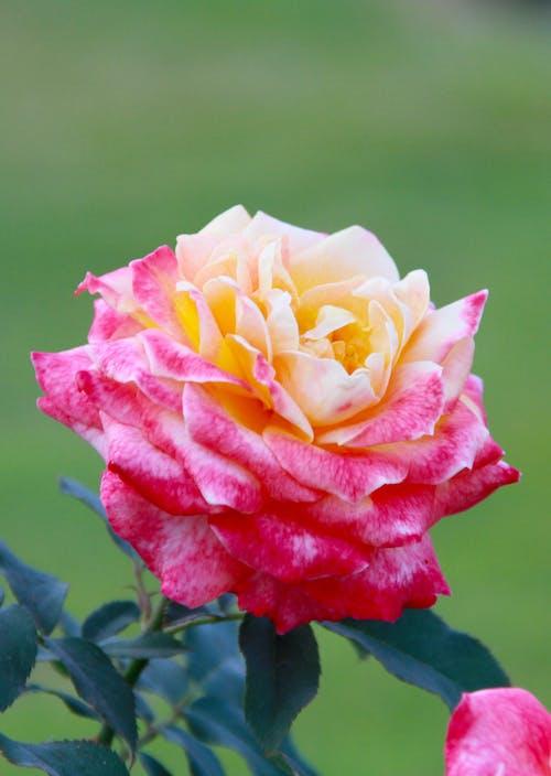 Close-Up Shot of a Tea Rose in Bloom