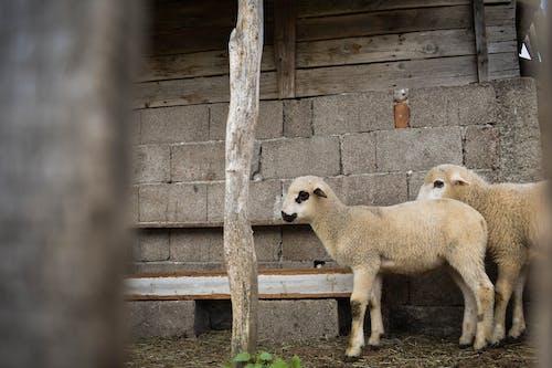 Free stock photo of animal, animals, lamb