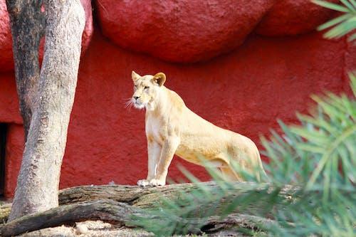 Immagine gratuita di animale selvatico, carnivoro, esterno