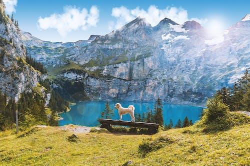 Безкоштовне стокове фото на тему «ірландський пшеничний тер'єр з м'яким покриттям, Альпійський, атмосфера, відображення»