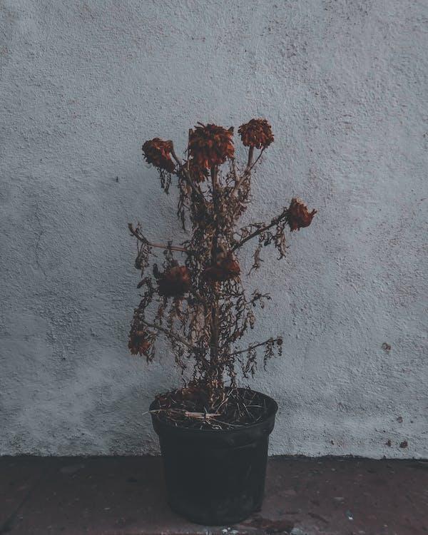 Dead flowering plant in black pot