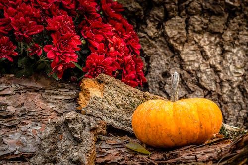 Kostnadsfri bild av apelsin, bark, blomma, dahlia
