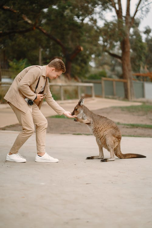 Stylish man hand feeding kangaroo in nature