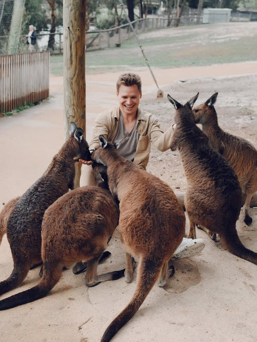 Excited man playing with group of kangaroos