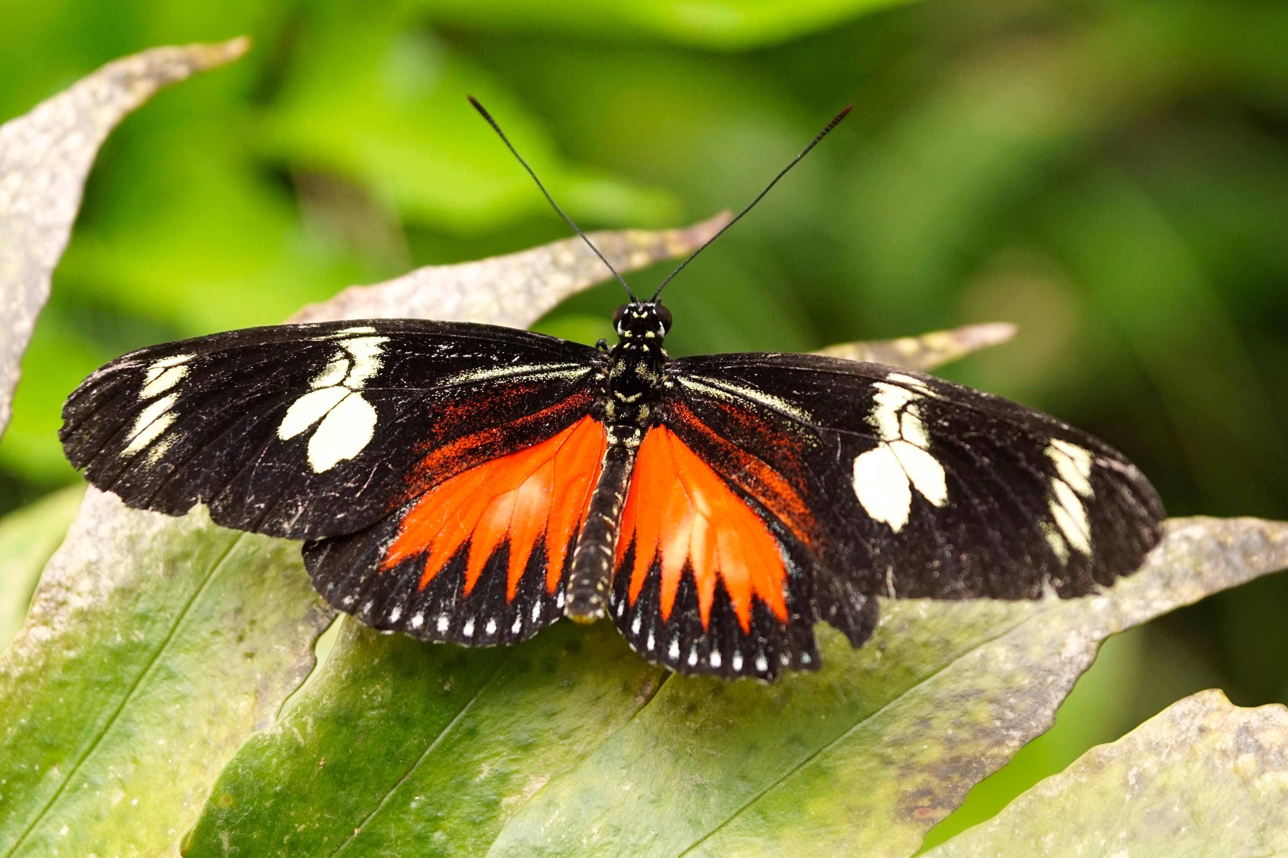 Free stock photo of animal, beautiful, brown, butterfly