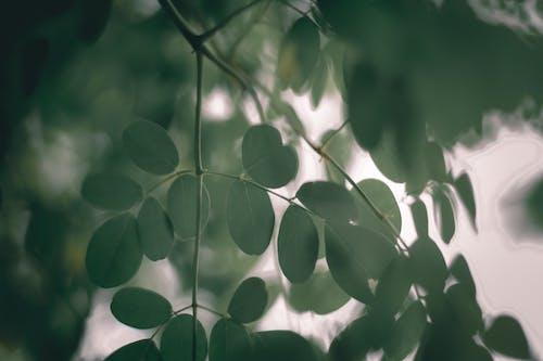 Leaves of Horseradish tree in daylight