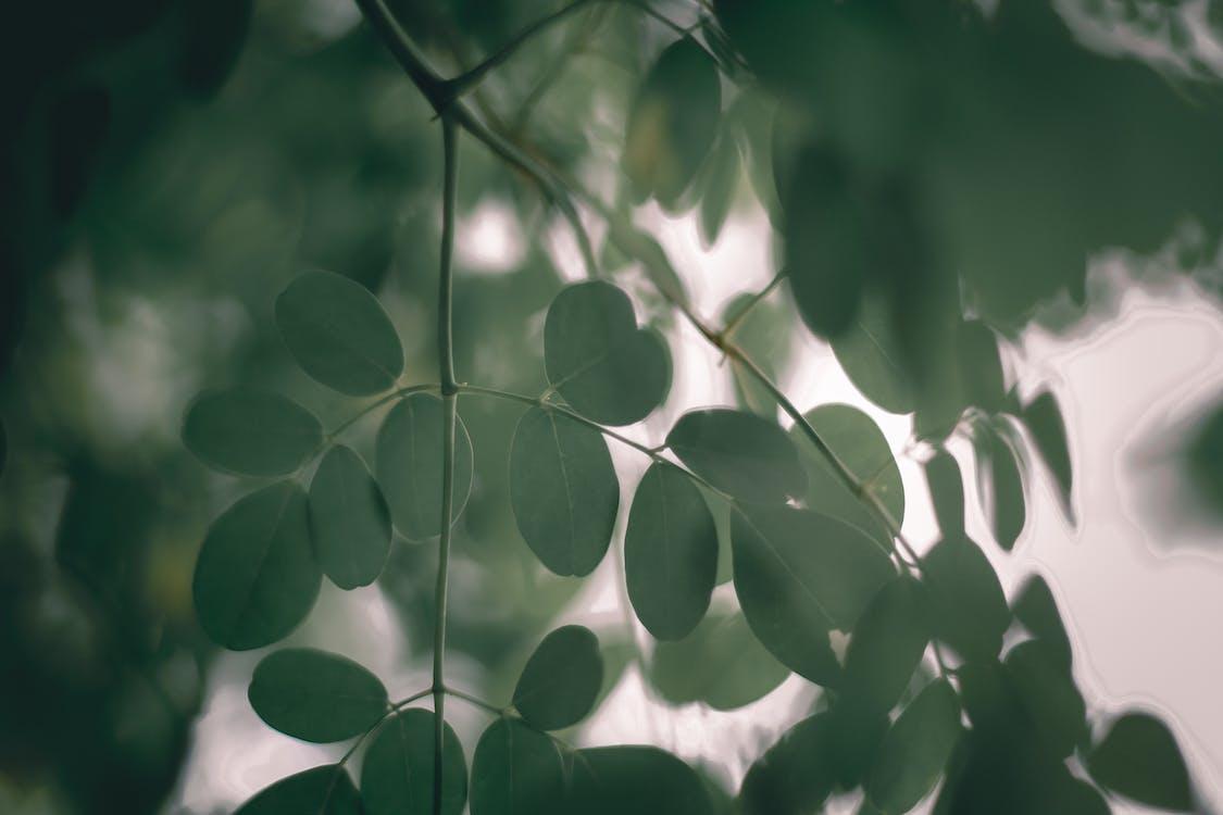 cara meleburkan susuk loloh dengan menggunakan daun kelor