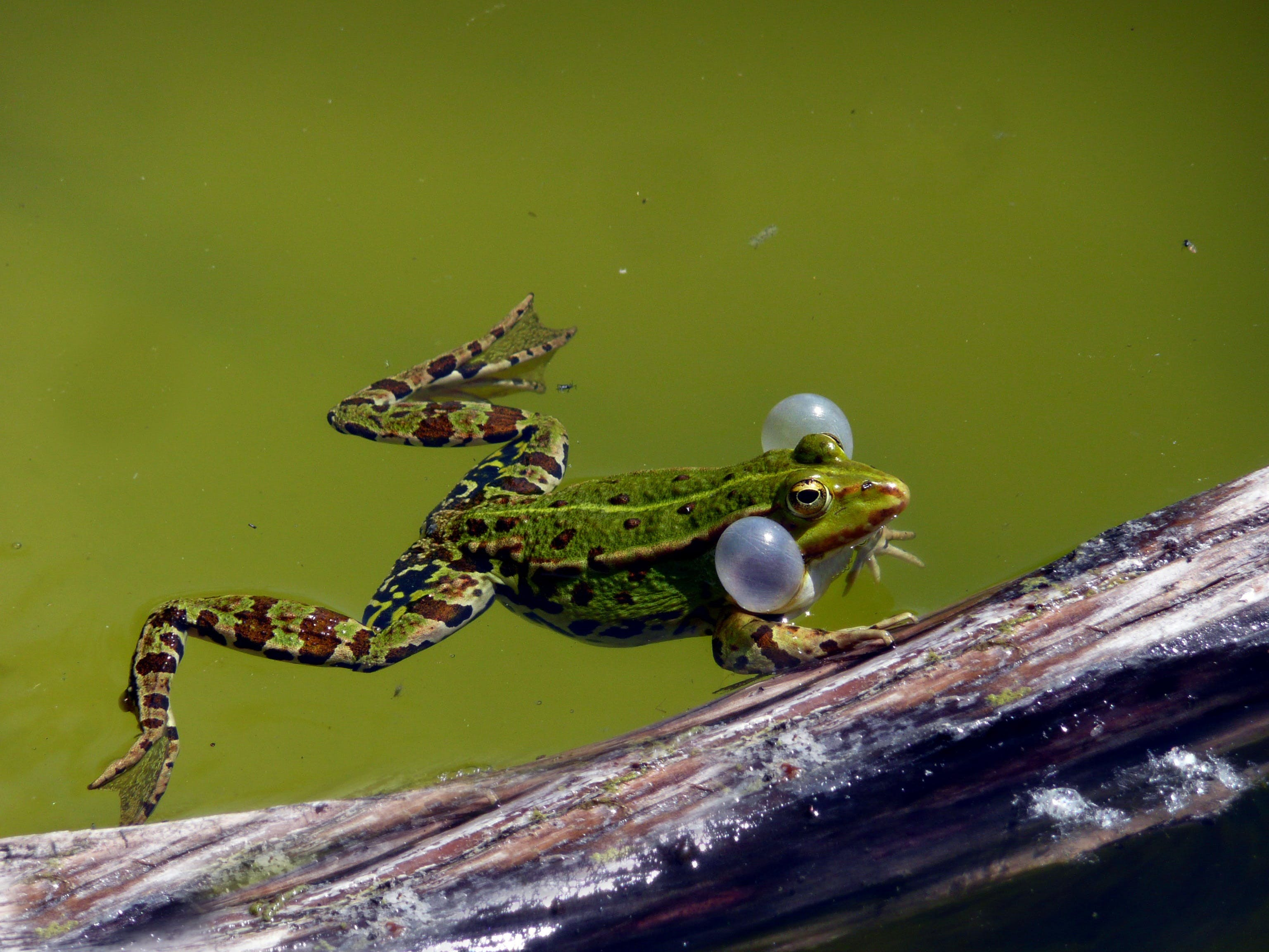 Free stock photo of spring, water frog, garden pond, sound bubbles