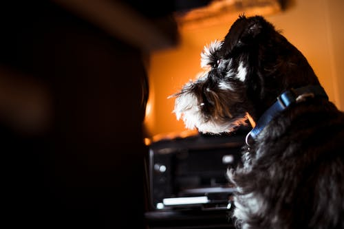 Side view of Schnauzer domestic puppy with collar sitting at home in evening