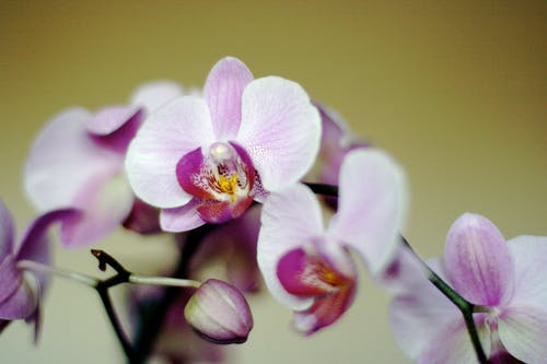Free stock photo of flowers, orchids, pink, purple