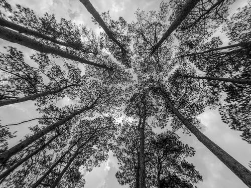 From below of black and white tall pine trees growing in park against cloudy sky