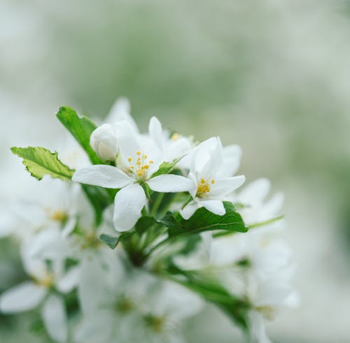 Blooming Malus sylvestris tree with gentle white flowers