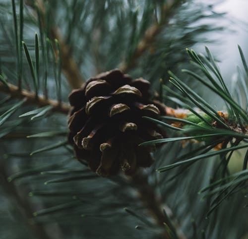Closeup of woody cone on branch of coniferous tree with green needles growing in forest