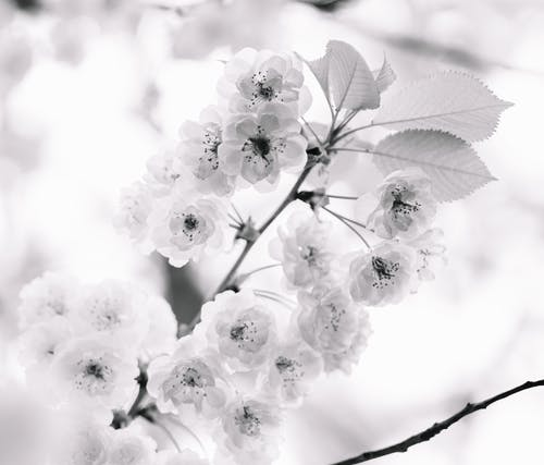 Bunch of delicate flowers of blooming cherry tree
