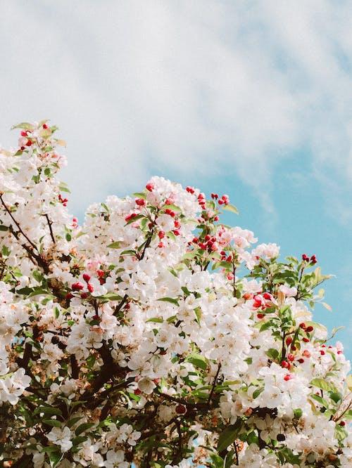 White Cherry Blossom Under Blue Sky