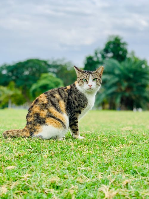 Curious tabby cat resting on green grass in park