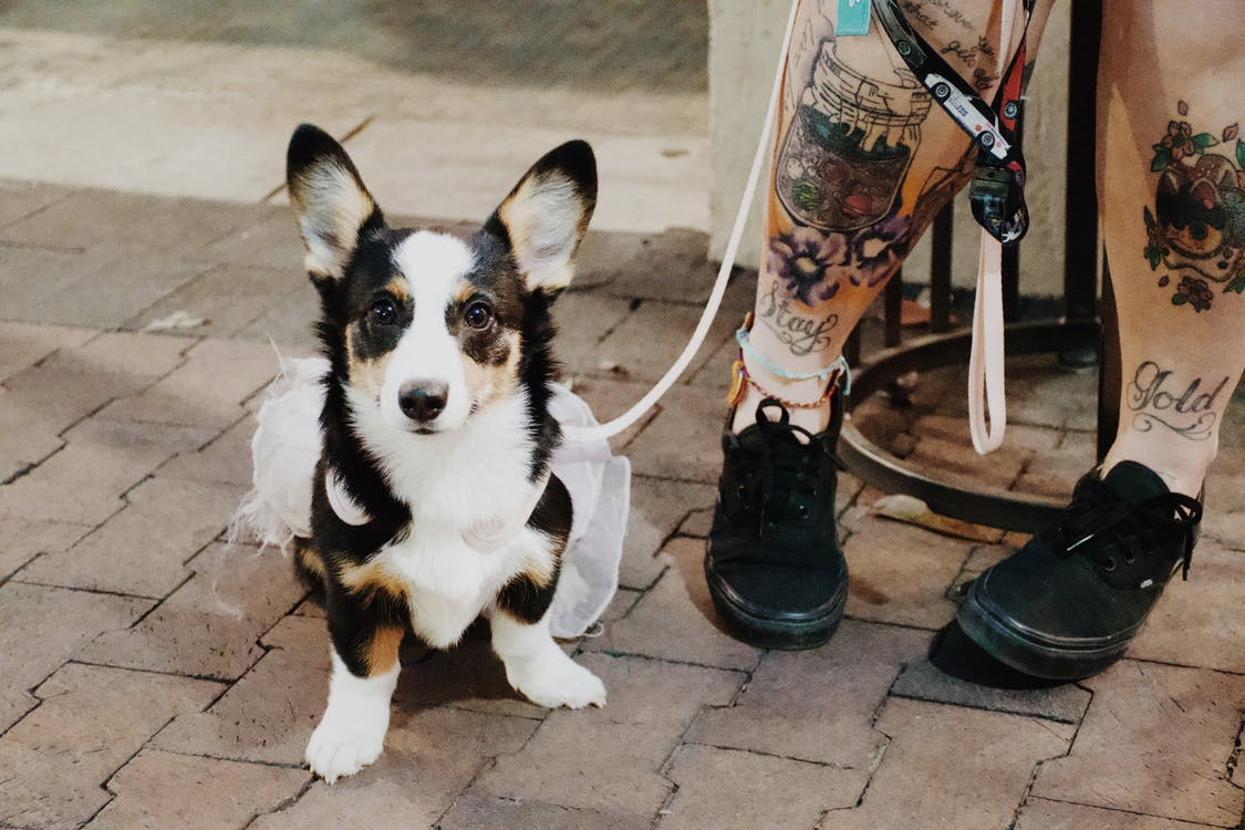 High angle of cute fluffy Welsh Corgi sitting near legs with tattoos of female owner