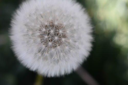 Free stock photo of blossom, dandelion, dandelion flower