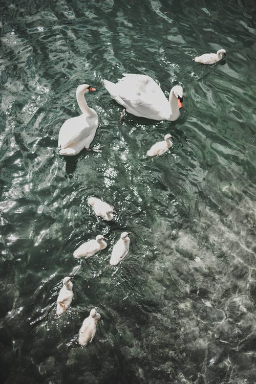 White swans and swimming in clean lake