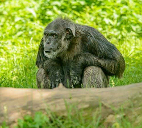 Δωρεάν στοκ φωτογραφιών με άγρια φύση, άγριο ζώο, πίθηκος