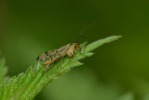 Scorpion fly resting on bright leaf on green background